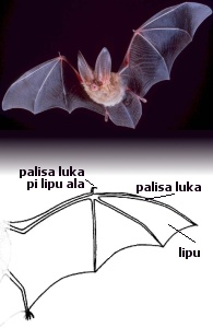 waso soweli, //[http://pl.wiktionary.org/w/index.php?title=Plik:Big-eared-townsend-fledermaus.jpg tan Nevada BLM]//